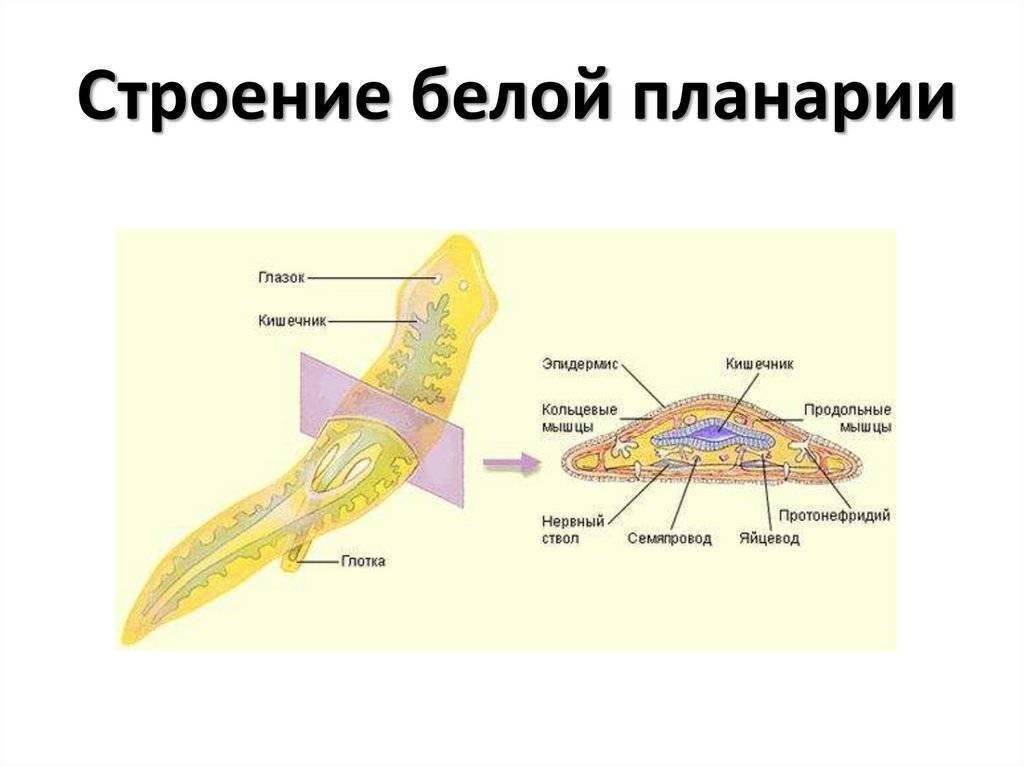 Пресноводная планария: внутреннее строение, образ жизни, размножение и питание
