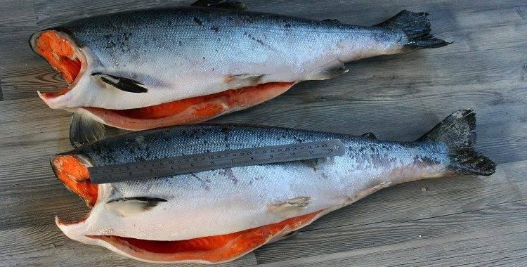 Отличия лосося от семги: определение и виды