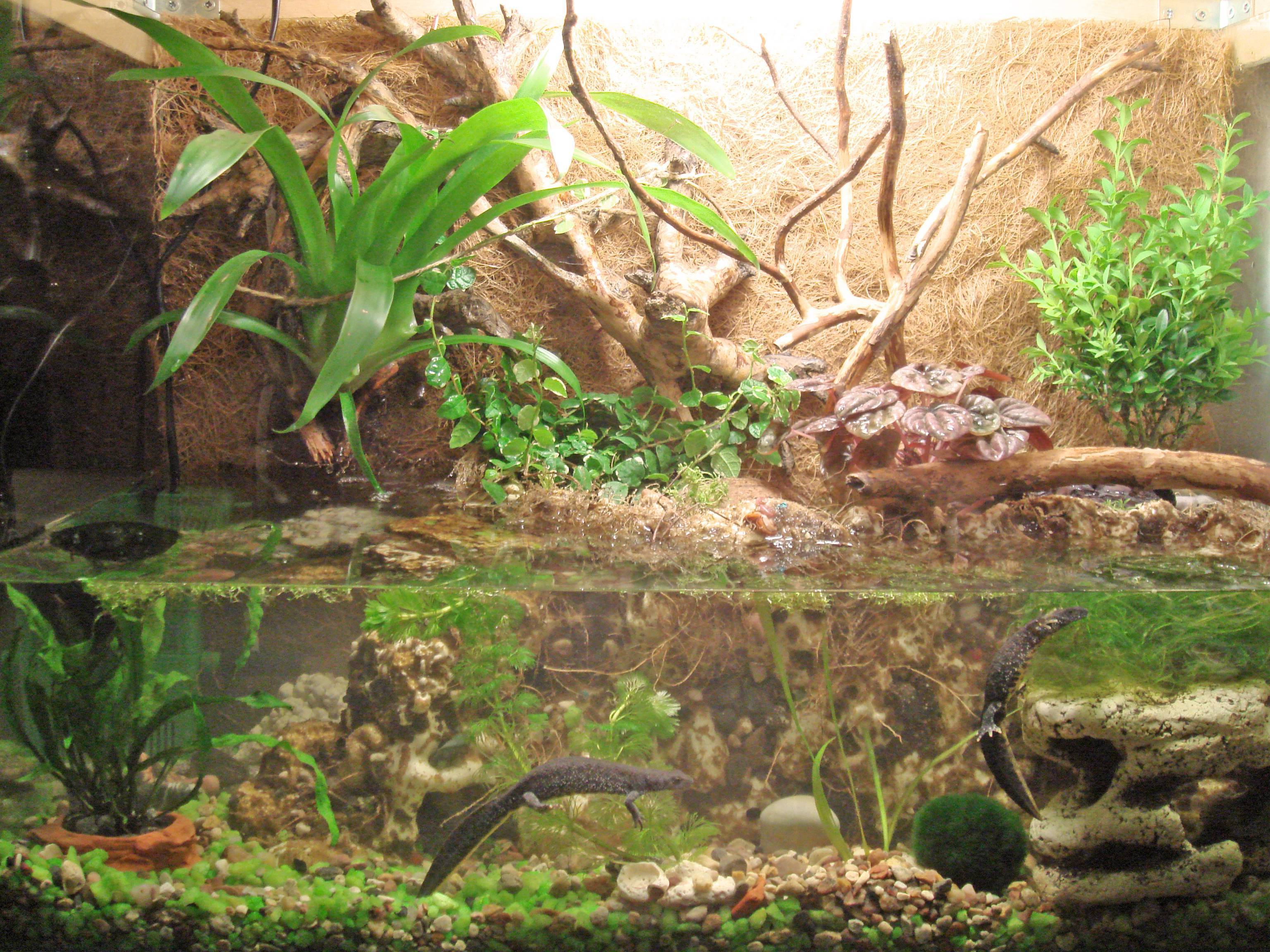 Тритон испанский иглистый: правильный уход, размножение, обустройство аквариума