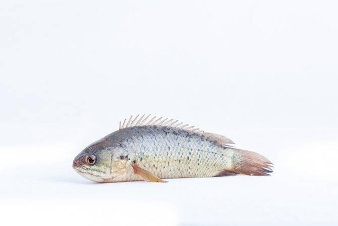 Анабас. рыба-ползун (anabas testudineus): фото, видео, содержание, разведение, купить
