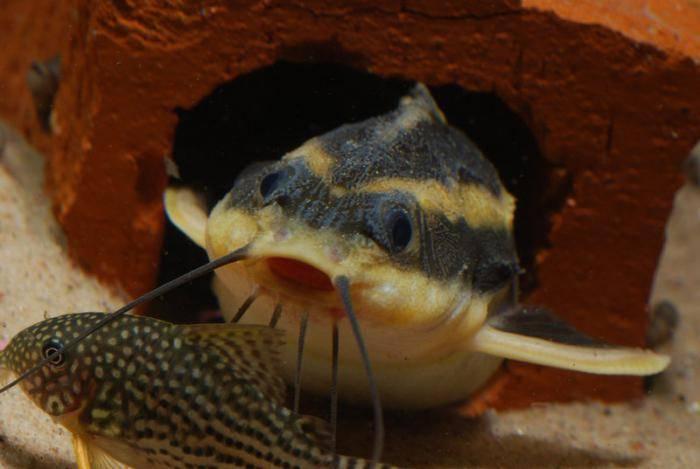 Сомы платидорасы — содержание, размножение и кормление броняковых сомов