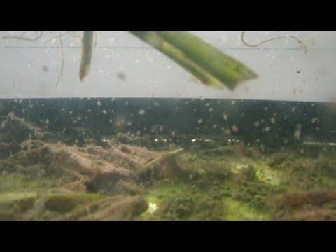 Дафния моина: разведение дома, чем кормить, фото, видео | корм для рыб аквариумных