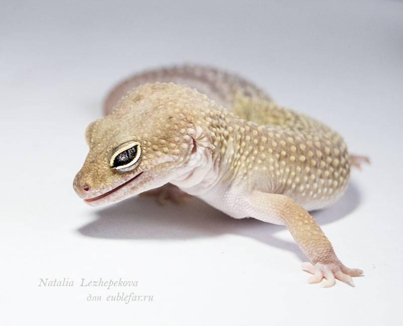 Содержание леопардового геккона в домашних условиях