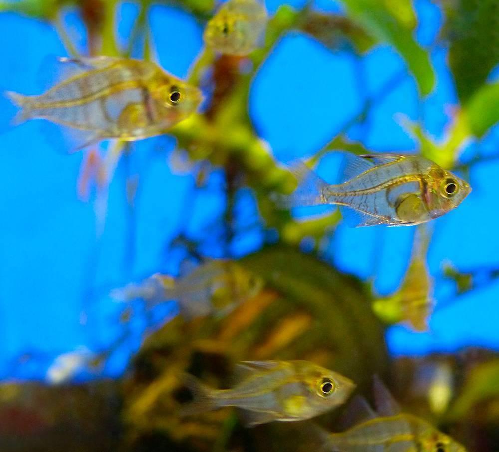 Тигровые окуни (datnioides) - статьи об обитателях аквариума - статьи