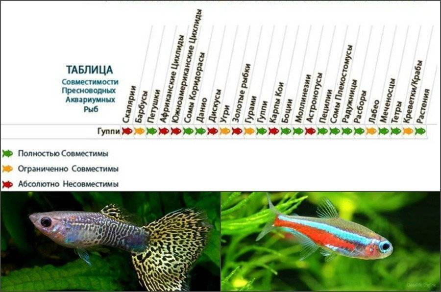 Совместимость данио с другими рыбками: можно ли селить с неонами, барбусами и гуппи, будут ли уживаться с петушком, тернецией и скалярией в одном аквариуме