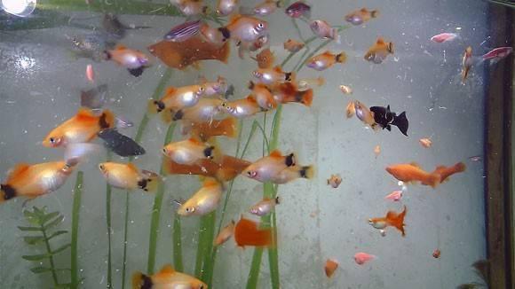 Здоровье рыбок в аквариуме зависит от питания! сколько раз в день их нужно кормить?