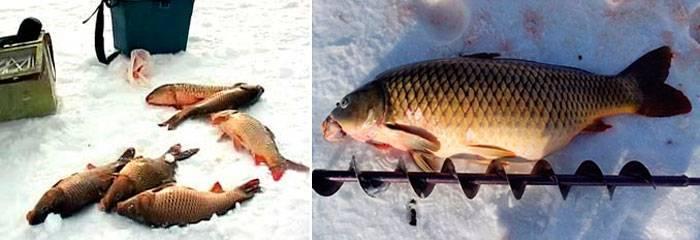 Ловля карася зимой со льда: тактика, снасти, приманки - рыбачок!сайт рыбачок