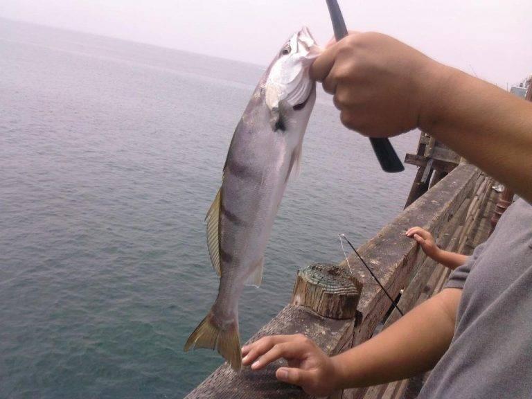Горбыль (white seabass) — описание, как, где и на что ловить