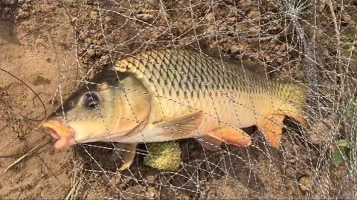 Ловля сазана на нижней волге и ахтубе – особенности рыбалки | заволжье