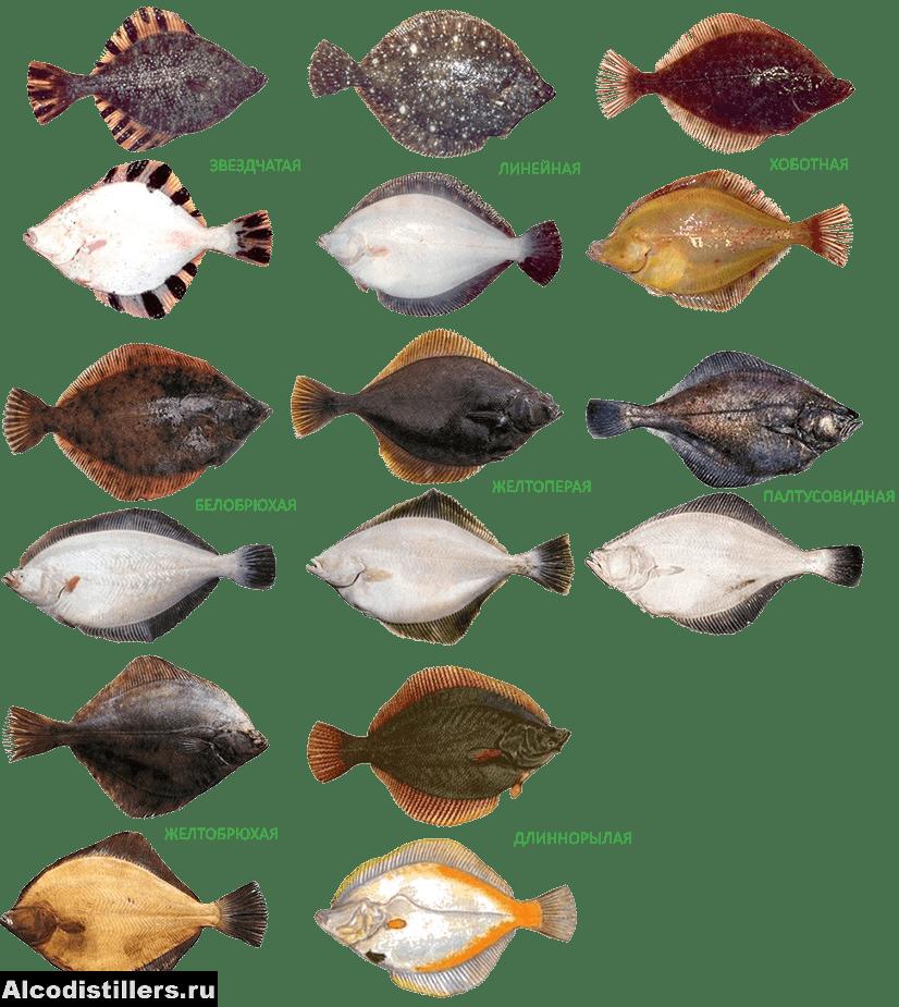Палтус: виды, цена, вес