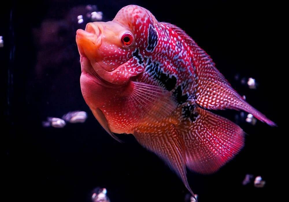 Флауэр хорн - уход и содержание в аквариуме
