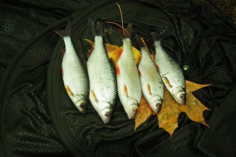 Плотва: ее ловля в начале октября