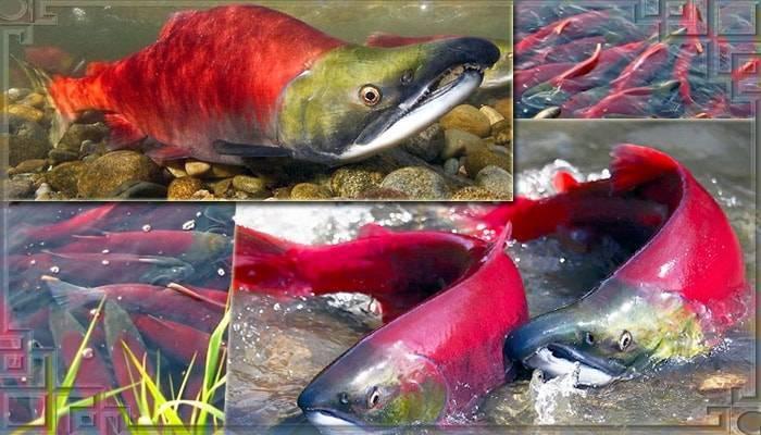 Промысловая рыба кета
