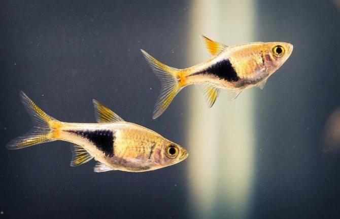 Расбора клинопятнистая (клиновидная): содержание,размножение