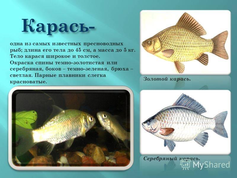 Карп и его виды: общая характеристика