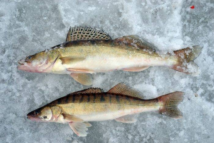 Судак и берш: отличия, внешний вид и образ жизни рыбы, ареал и повадки