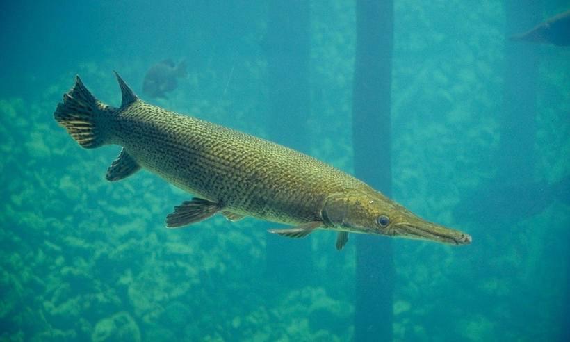 Щука обыкновенная: что за рыба, чем питается щука