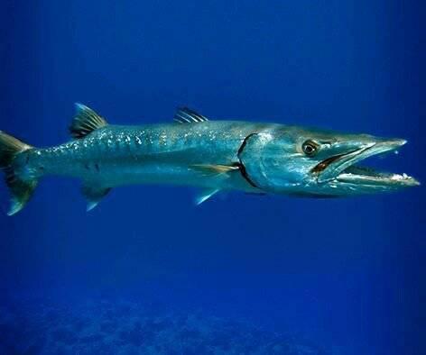 Сарган рыба. описание, особенности, виды, образ жизни и среда обитания рыбы сарган