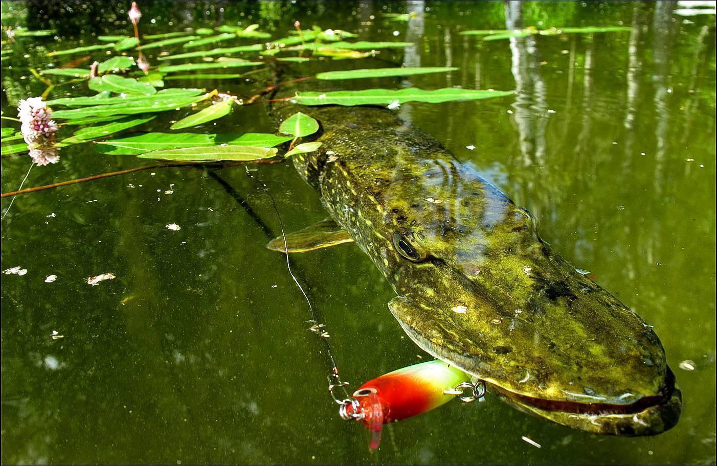 Ловля щуки летом на спиннинг: техника рыбалки и советы новичкам