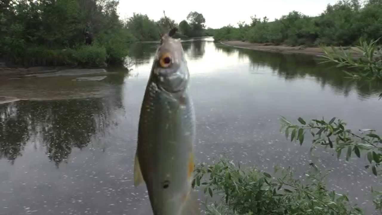 Рыба елец (45 фото): описание, условия и особенности успешной ловли, использование различных приманок, видео