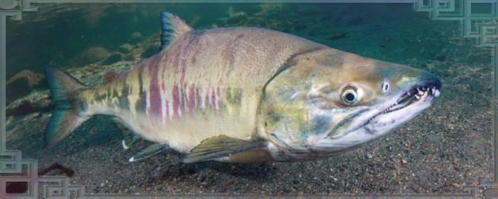 Рыба кета: фото и места ловли рыбы