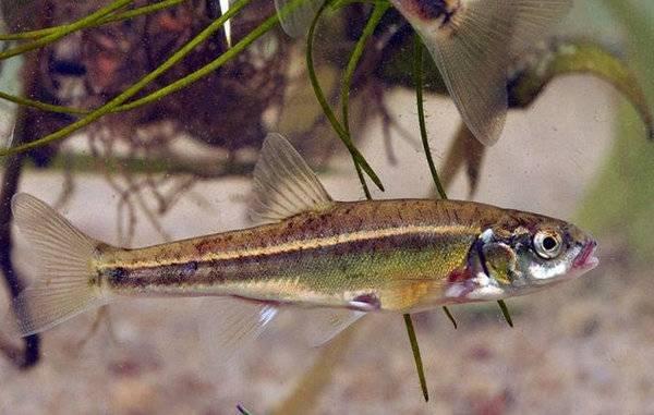 Жерех — распространенная рыба наших рек, но вот добыть его под силу далеко не каждому