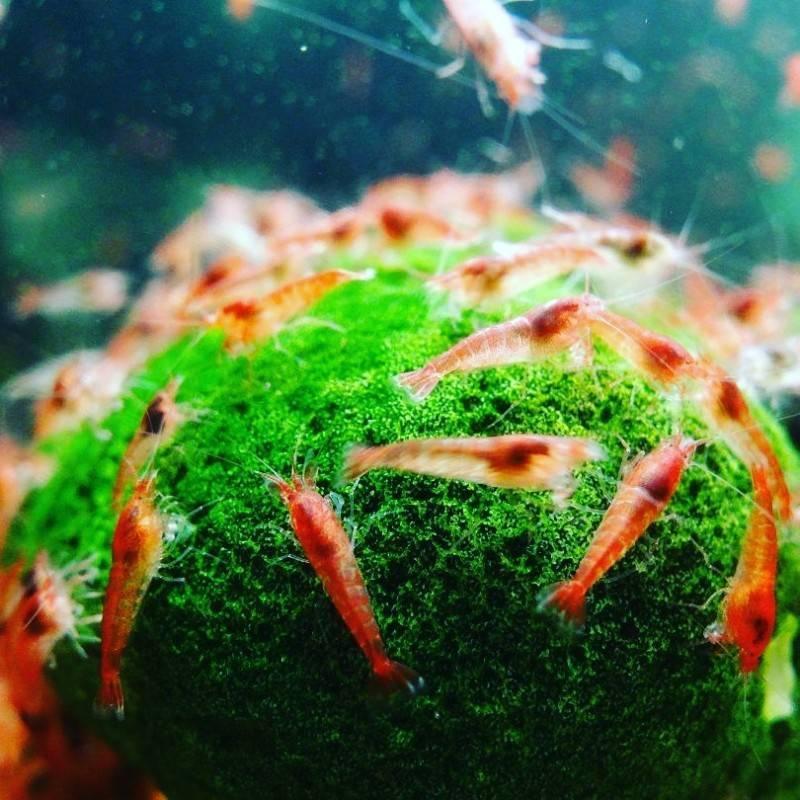 Вишни креветки (черри) -содержание , фото, видео , размножение