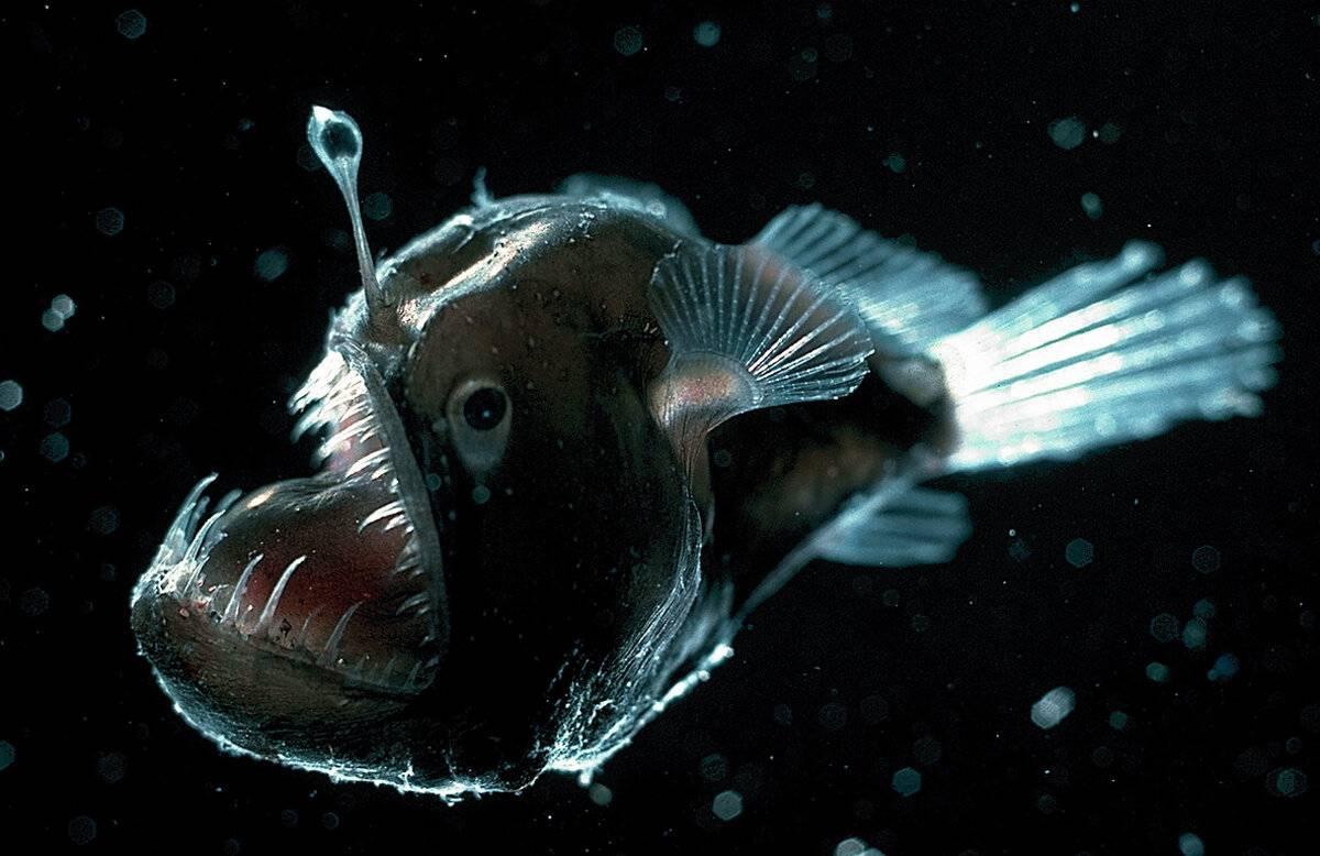 Рыба морской черт: описание рыбы-удильщика с фонариком на голове, фото
