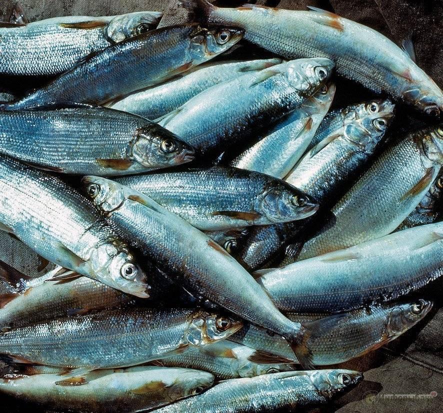Рыба сиг: описание, места обитания, образ жизни, способы ловли, нерест и гастрономическая ценность