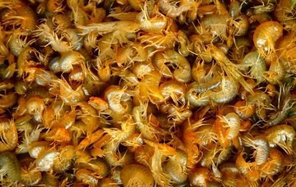 Гаммарус – идеальный корм для аквариумных рыбок, разведение
