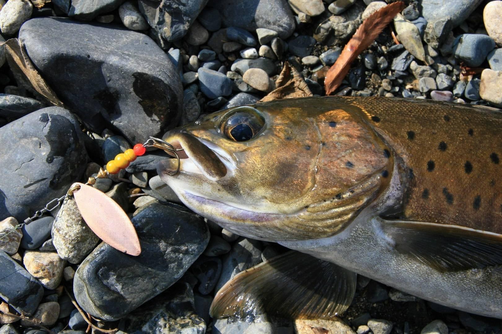 Рыбы сибири и дальнего востока россии: описание с фото, рыбалка - рыба