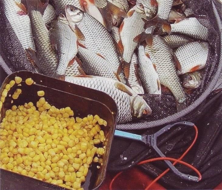 Клюет как надо или как варить кукурузу для рыбалки на карпа и других рыб: делимся секретами
