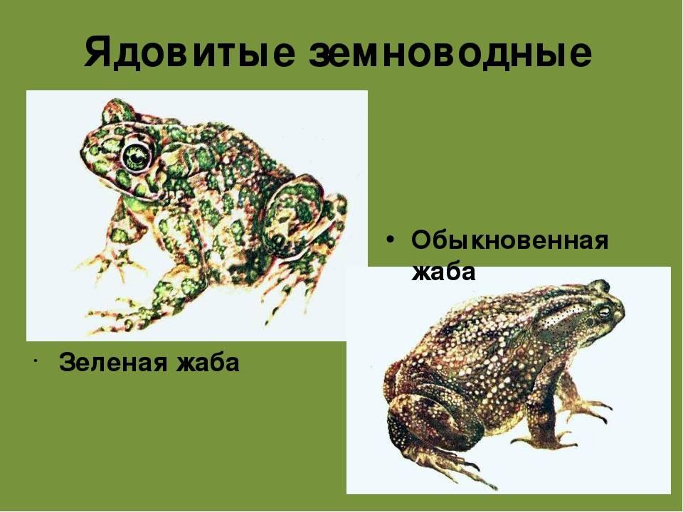Аквариумные лягушки в аквариуме: описание, уход, содержание, виды (белые, розовые, xenopus laevis), размножение