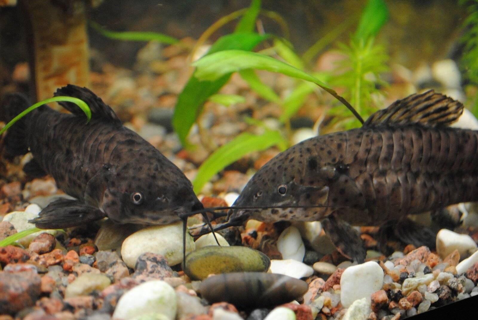 Таракатум сом. образ жизни и среда обитания сома таракатума