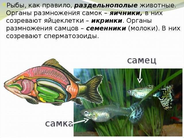 3 вида размножения рыбок в аквариуме