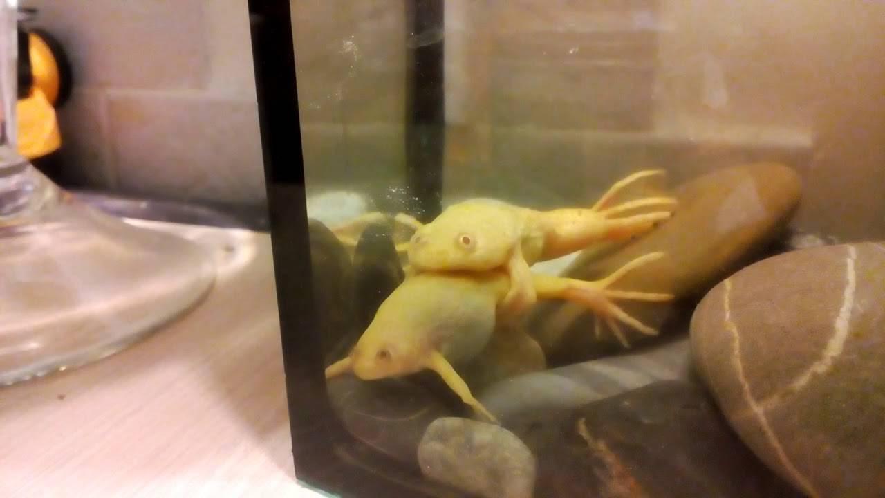 Шпорцевая лягушка: уход и содержание