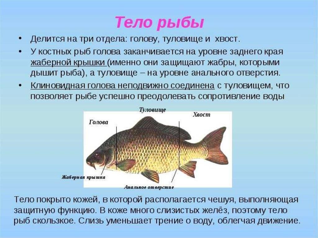 Что за рыба белорыбица: описание и особенности ловли