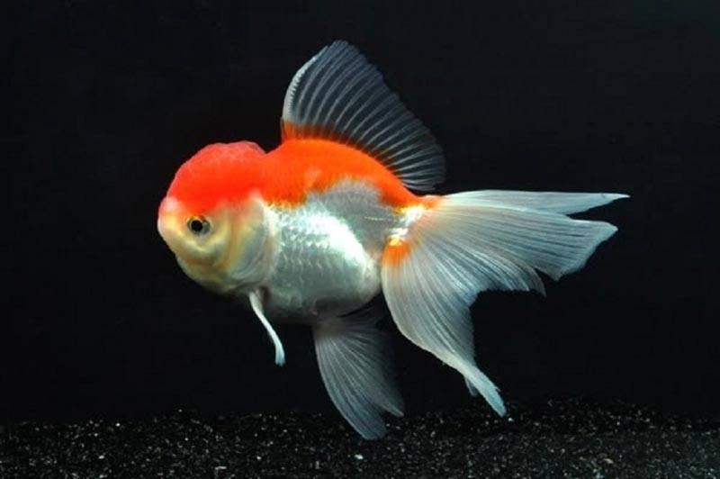 Золотые рыбки: описание, содержание, виды, уход, размножение, фото, видео | блог аквариумиста