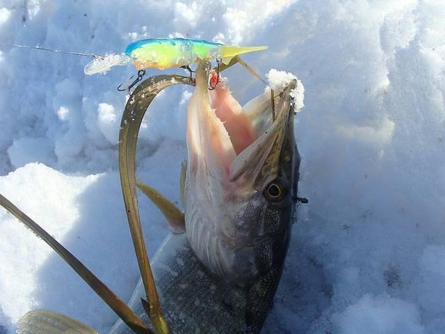 Ловля зубатой на реке