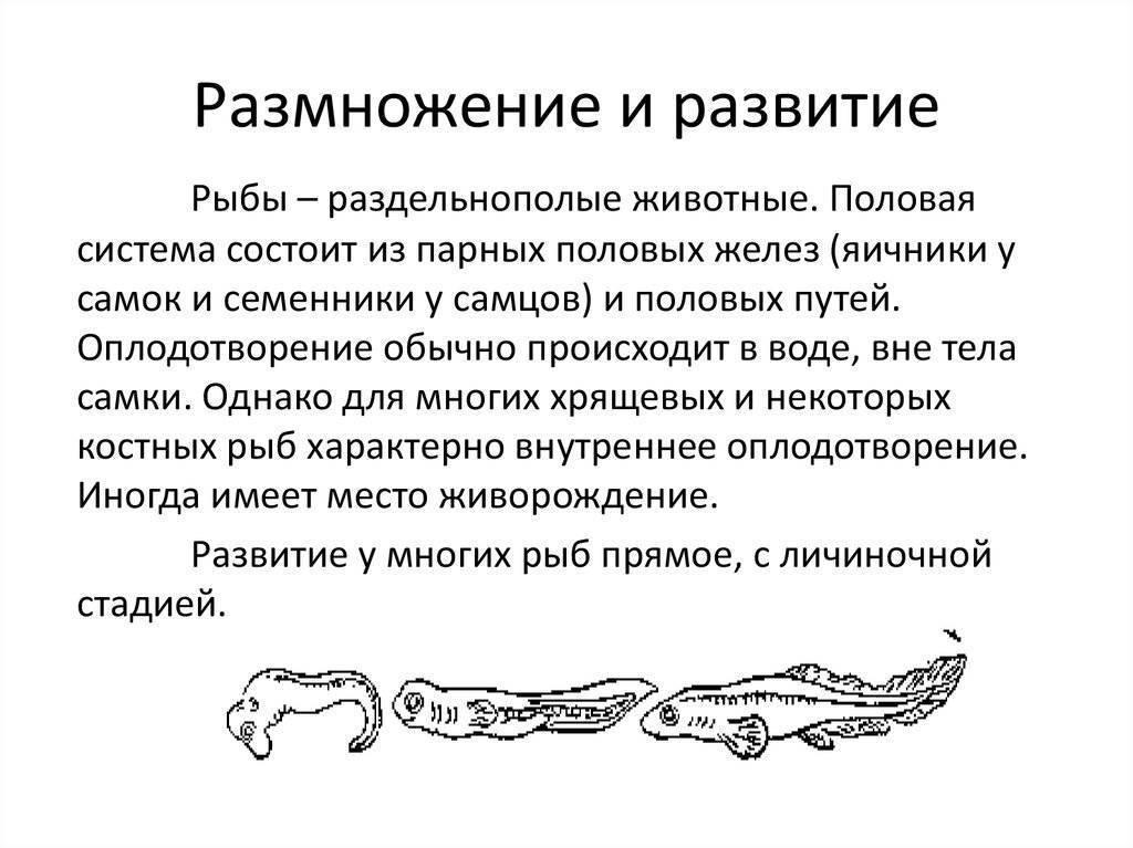 Процесс спаривания рыб: краткое строение половой системы, способы размножения рыбок