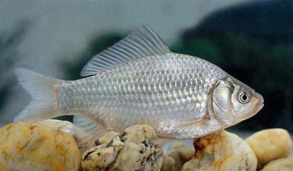 Растительноядные рыбы: названия, специфические особенности выращивания и питания. рыбная ферма