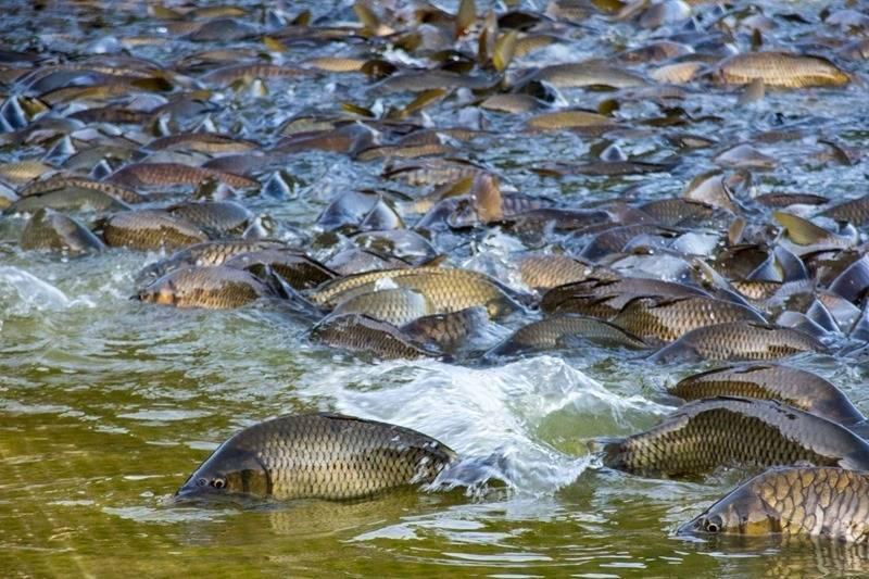 Караси в аквариуме: содержание и уход