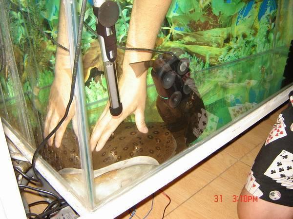 Аквариумный скат: виды и особенности содержания