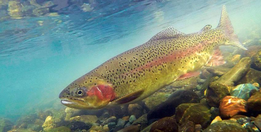 Форель: рыба форель фото и описание, нерест, способы ловли, образ жизни, приманки на форель, калорийность форели