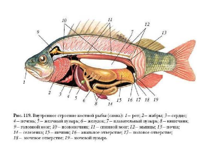 Класс хрящевые рыбы. строение, размножение, разнообразие и значение хрящевых рыб. надотряды: акулы, скаты и химеры | биология