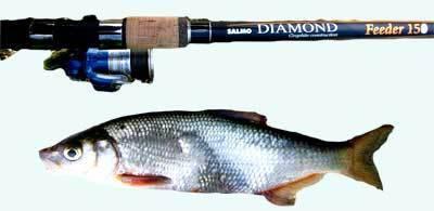 Ловля рыбца: приманки, способы ловли и места обитания