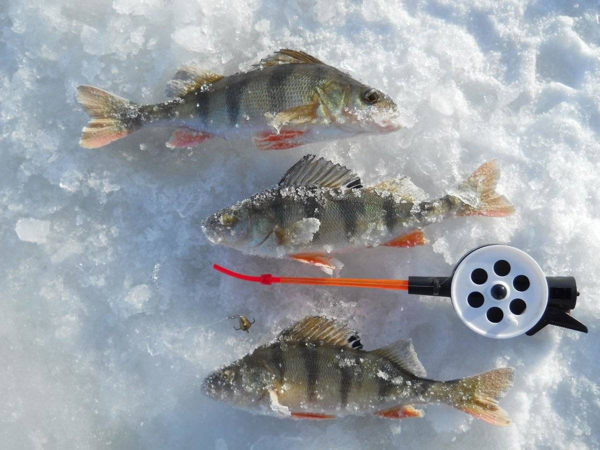 Зимняя ловля окуня на балансир - советы новичкам