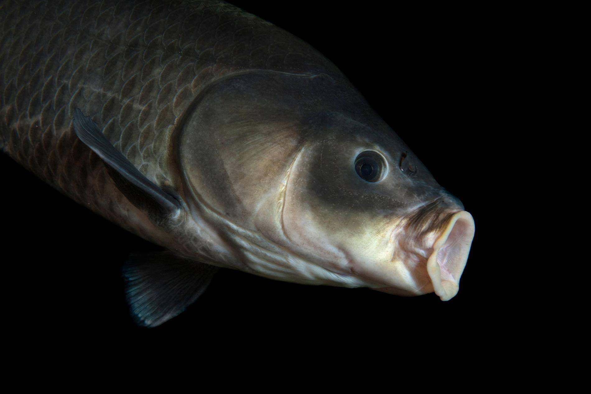 Буффало: описание, разновидности, места обитания | клёвая рыбалка