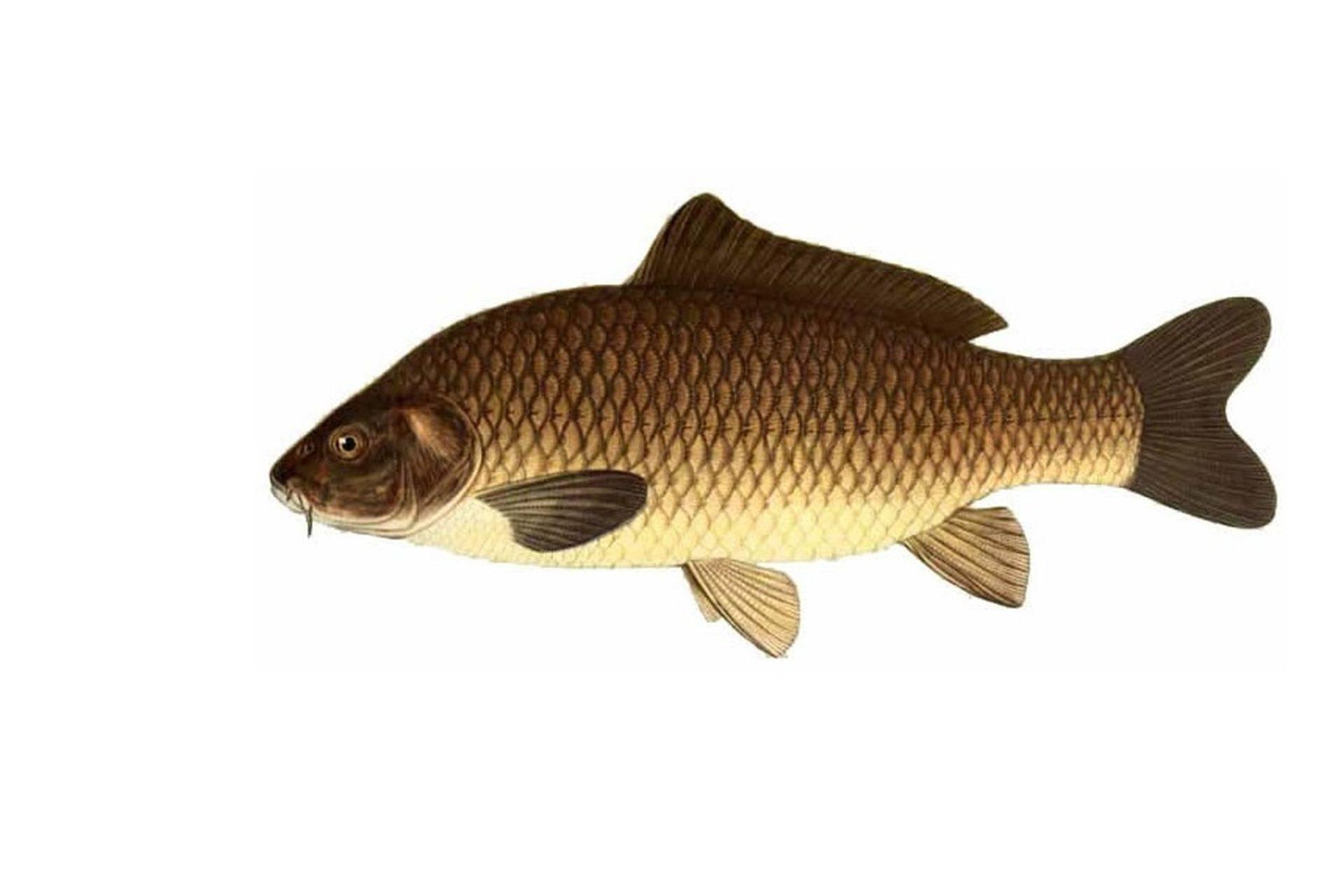 Рыба сазан, описание вида