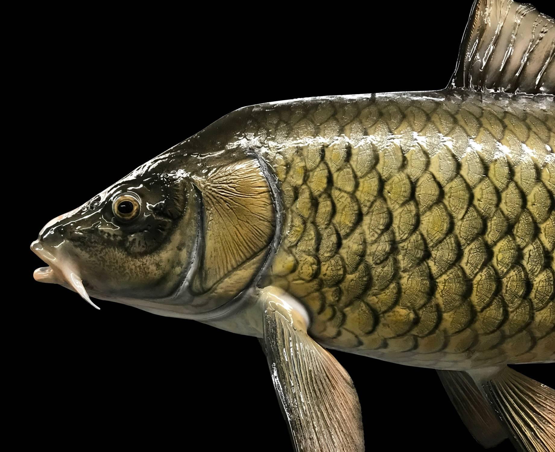 Сазан (рыба). фото и описание. размеры   все о сазане